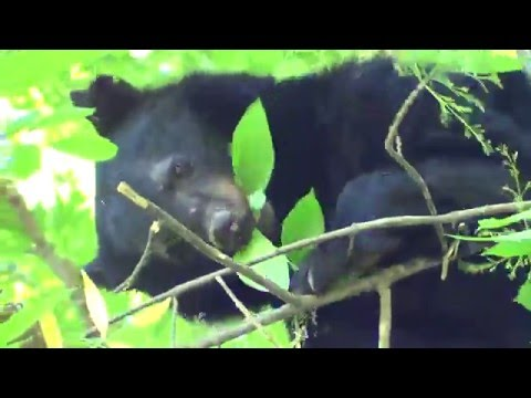 Close Encounter with Black Bear Mama and Cub in the Great Smoky Mountains!