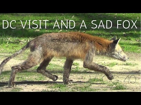 A day in DC and a very sad fox | MOTM VLOG #40