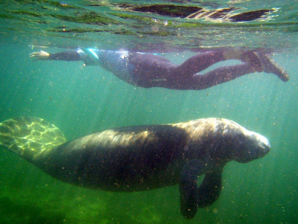 manatee swimming underneath person