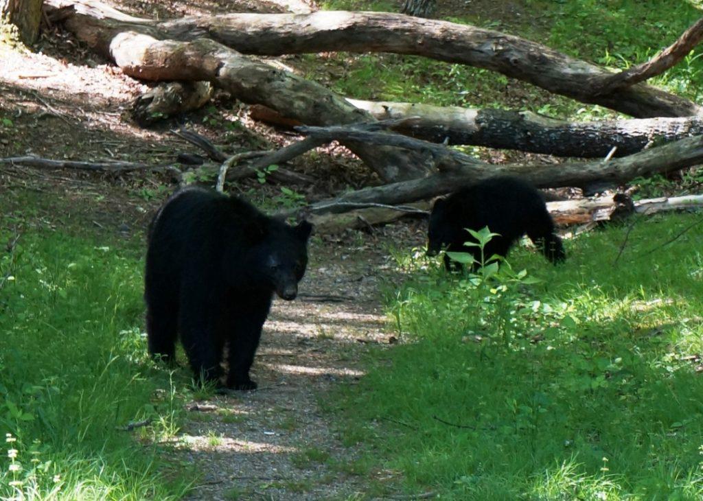 smoky mountain bears