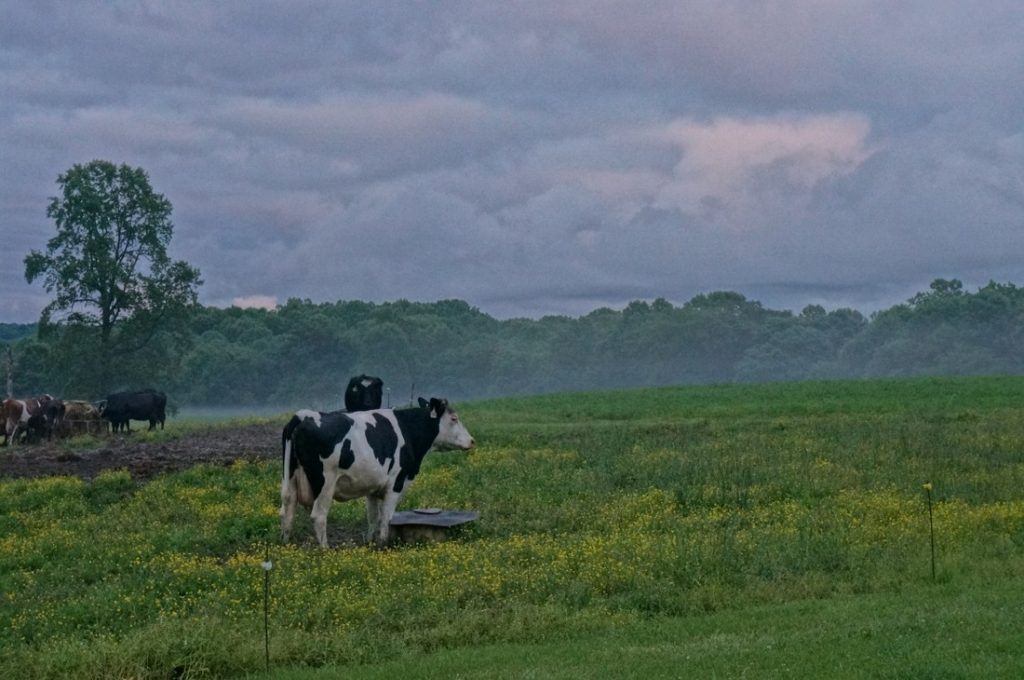 beautiful misty morning cow