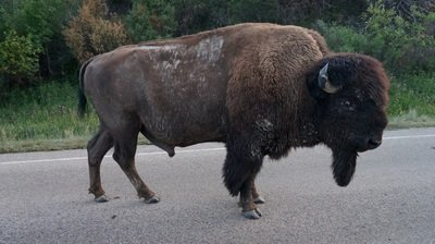 bison on road in theodore roosevelt national park