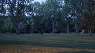 bison in campground
