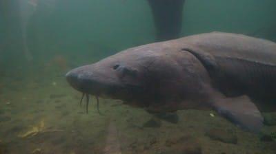 sturgeon at bonneville fish hatchery