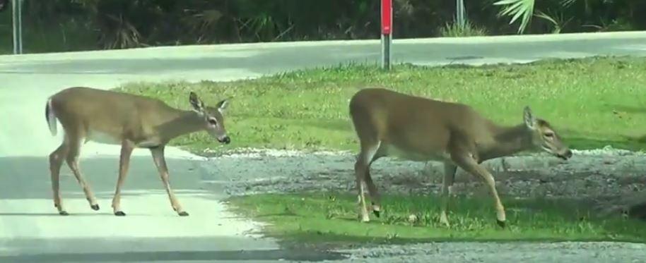 Key deer on no name key in the florida keys
