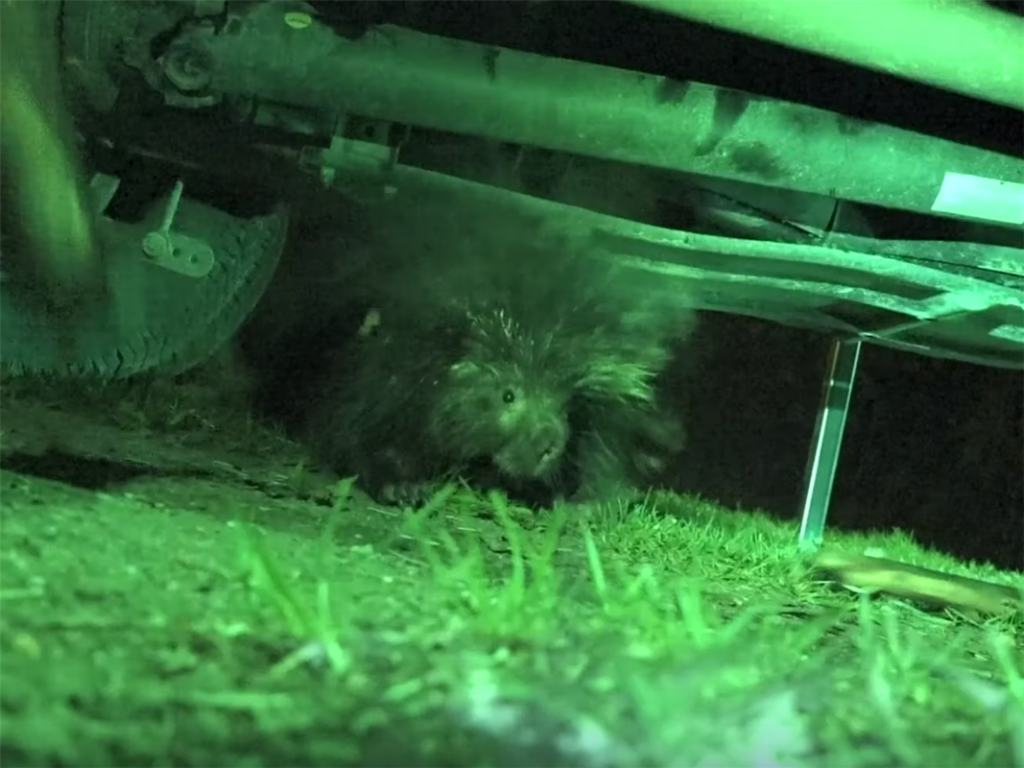 porcupine chewing wires on truck while rving