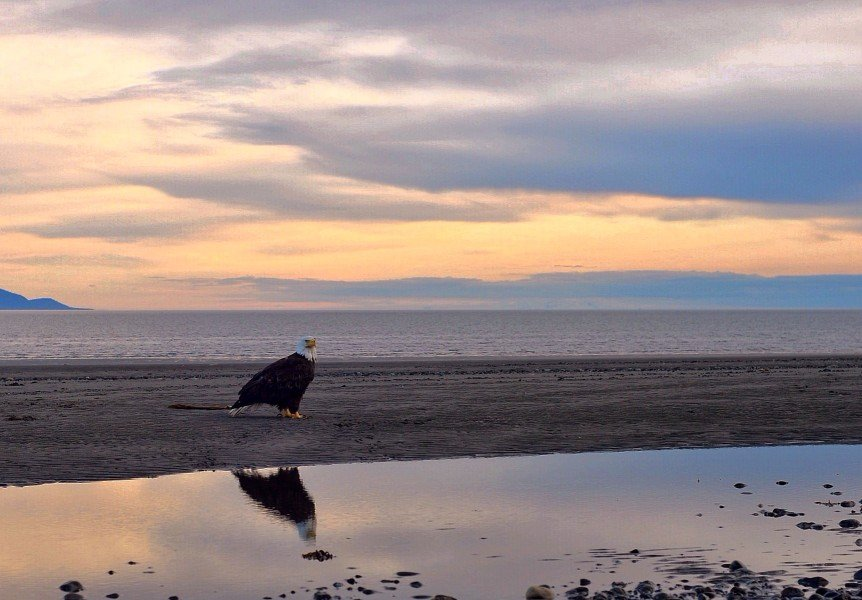 eagle on beach in alaska