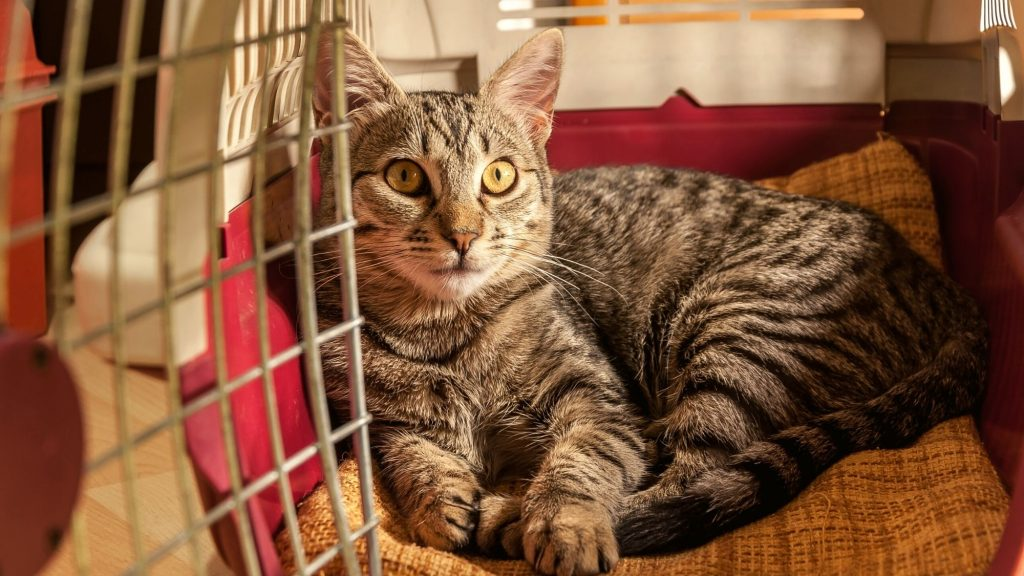 tabby cat laying in pet carrier