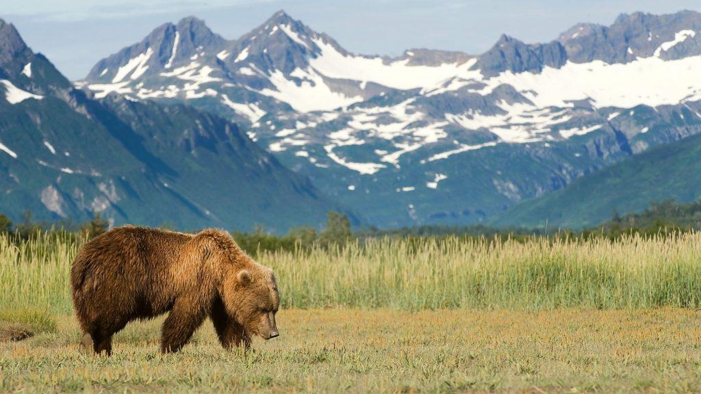 big alaskan bear
