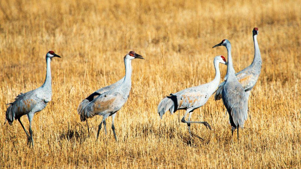 Sandhill Cranes at Bosque Del Apache Refuge in San Antonio, New Mexico