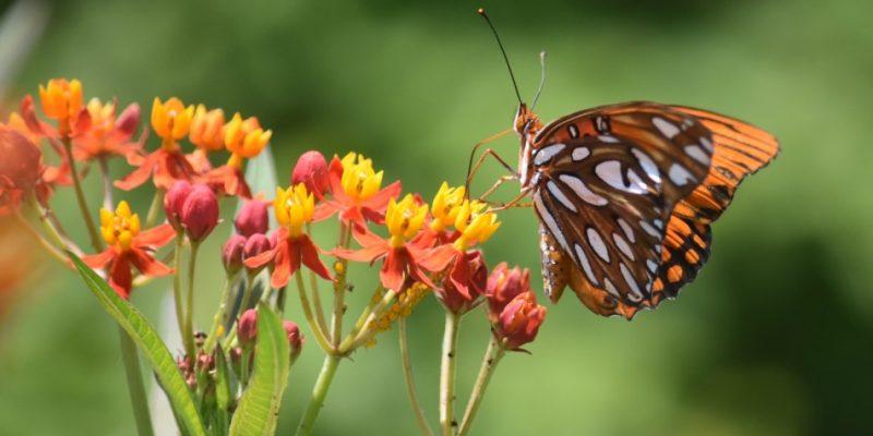 Butterfly at Pinckney Island Refuge in South Carolina