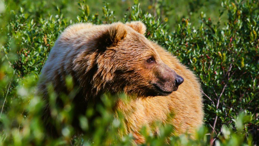 denali bear wildlife viewing