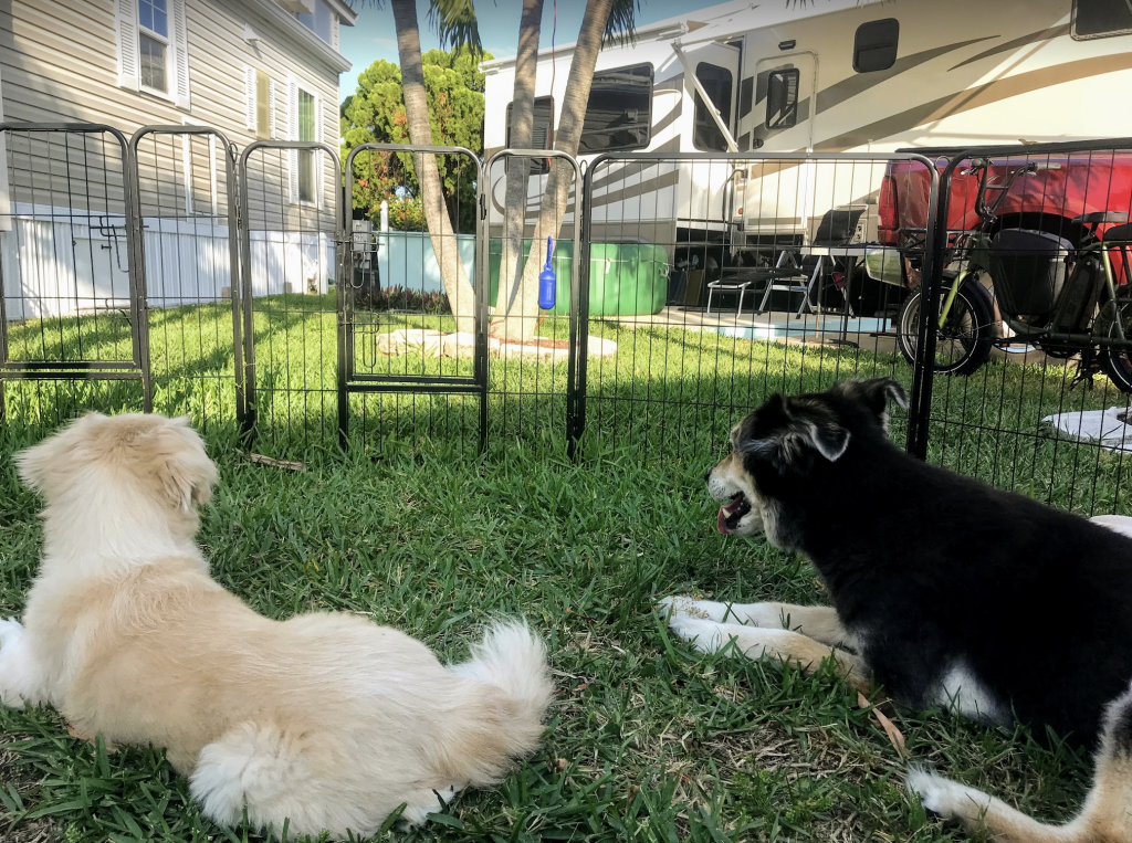 two dogs using portable dog fence for rv camping
