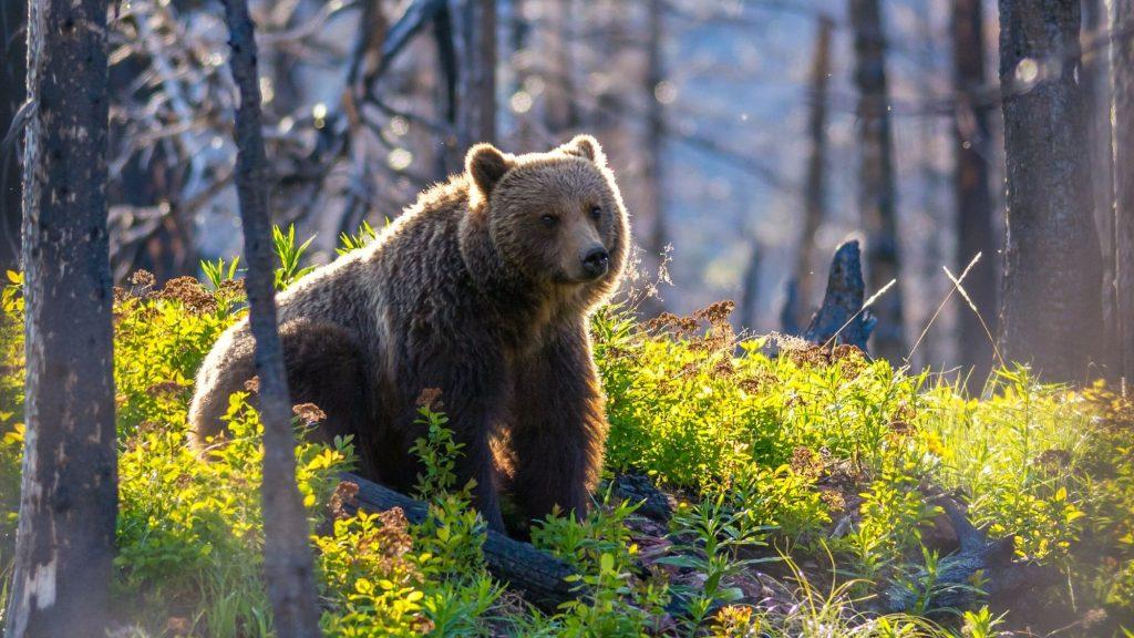 Glacier National Park Wild bears