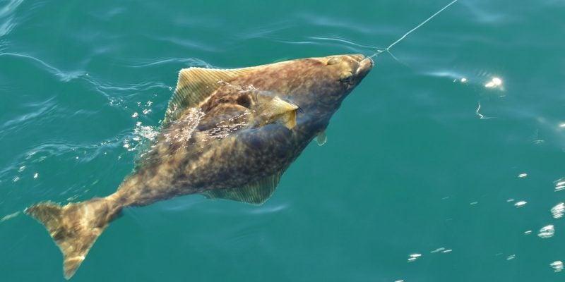 Halibut Fishing Alaska