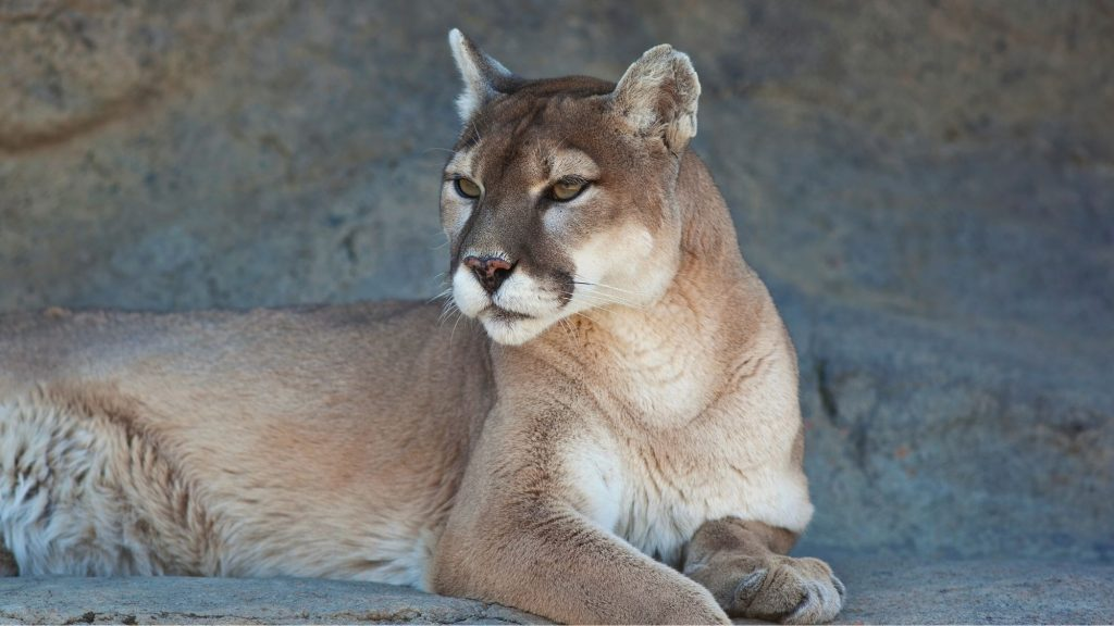 mountain lion in zion national park