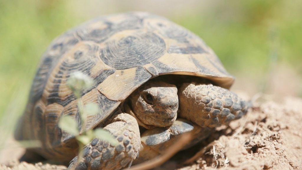 zion national park desert tortoise
