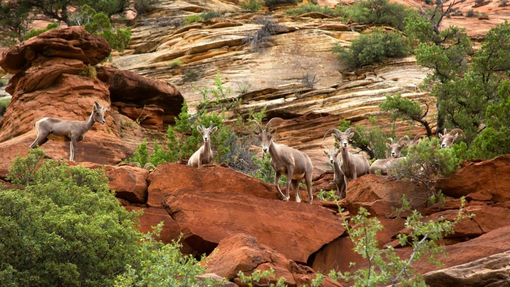zion national park wildlife includes big horn sheep