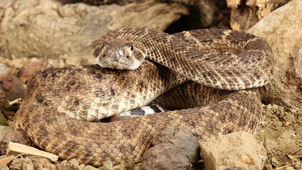 dangerous zion wildlife western rattlesnake