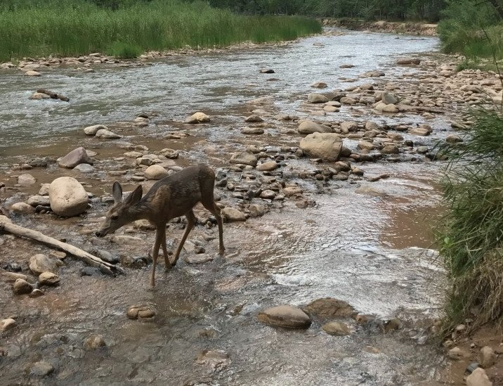 mule deer in zion national park