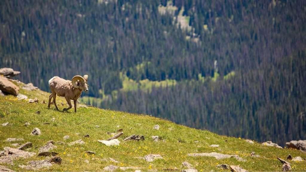 wild bighorn sheep