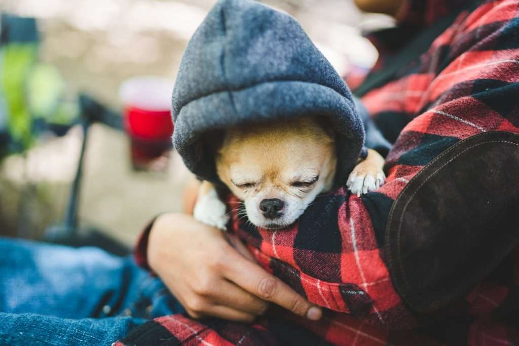 Cold little dog sleeping in owners arms while bundled in a hoodie.