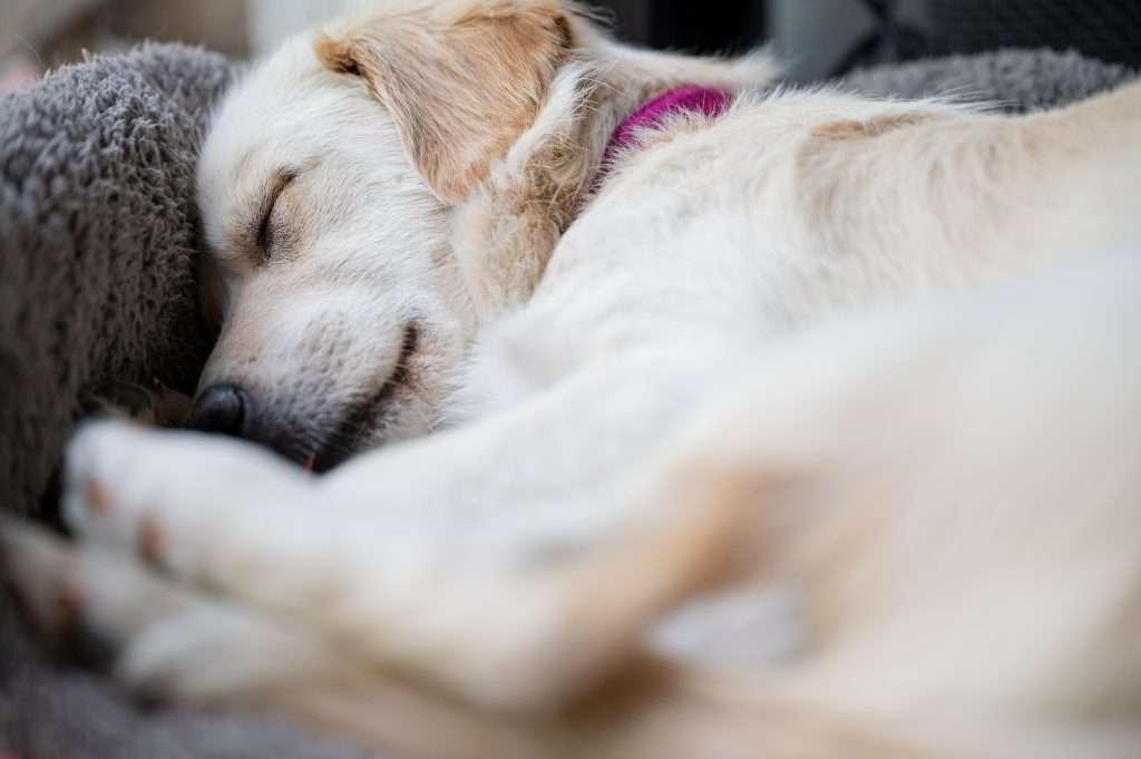Golden retriever  sleeping curled up in it's bed.