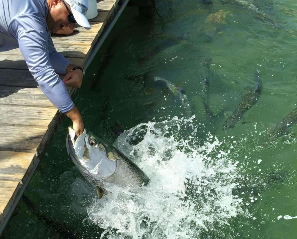 Man feeding fiant tarpon fish at Robbie's in Islamorada.