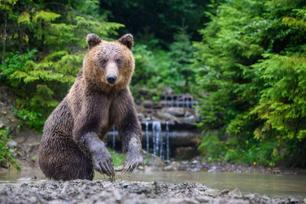 Kodiak Island bear starring at photographer.