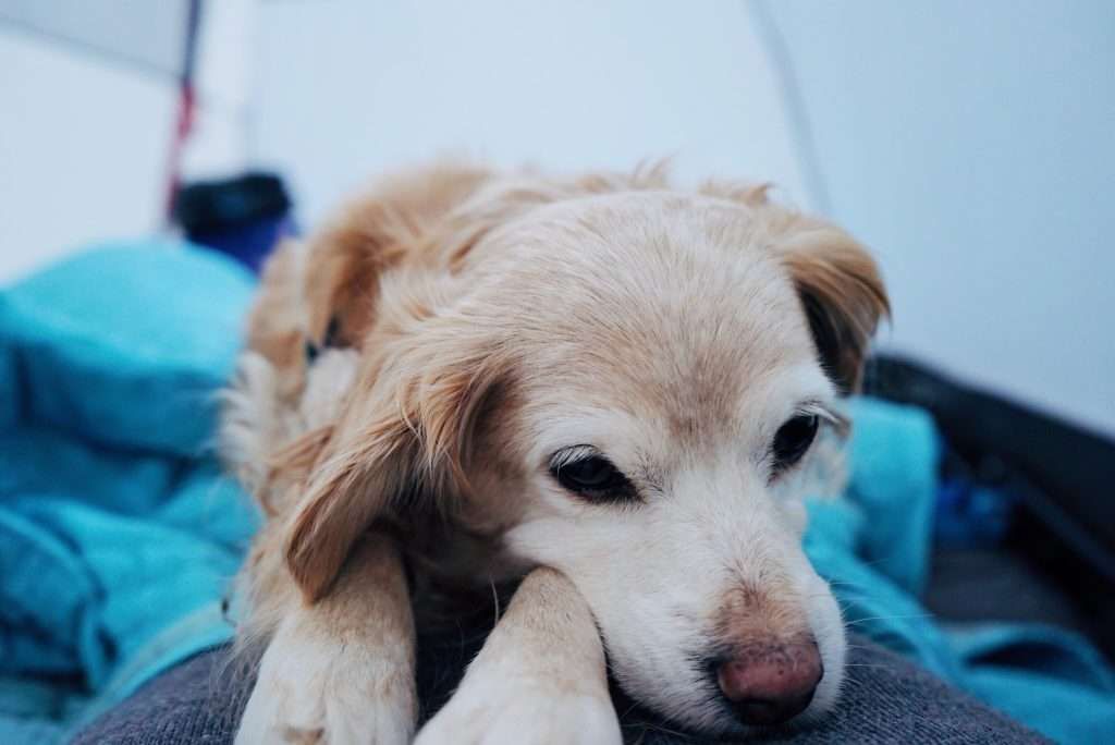 Golden retriever sleeping in tent while camping.