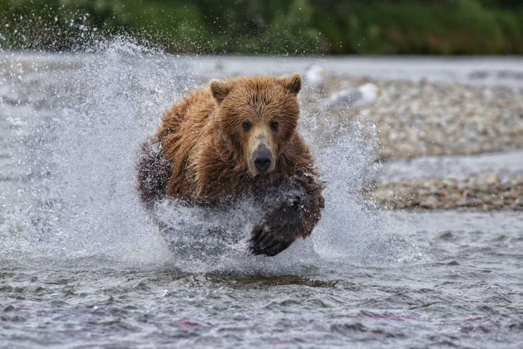 Bear running in water to catch salmon.
