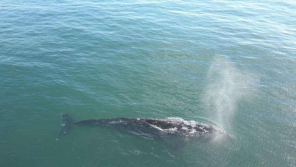 gray whale off olympic peninsula