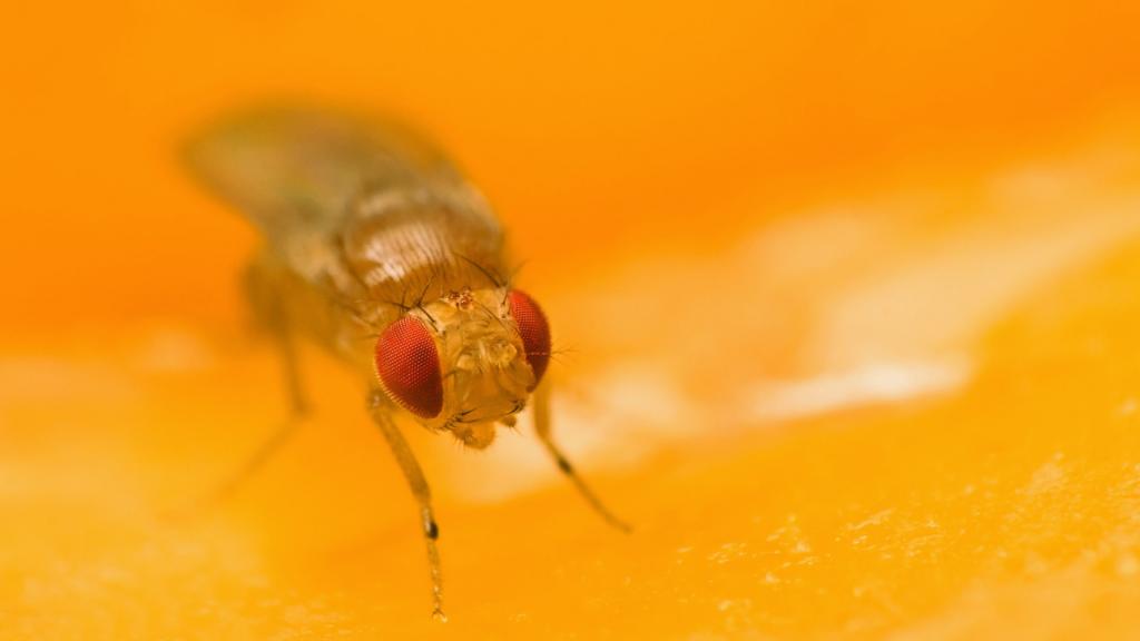 Up Close Fruit Fly