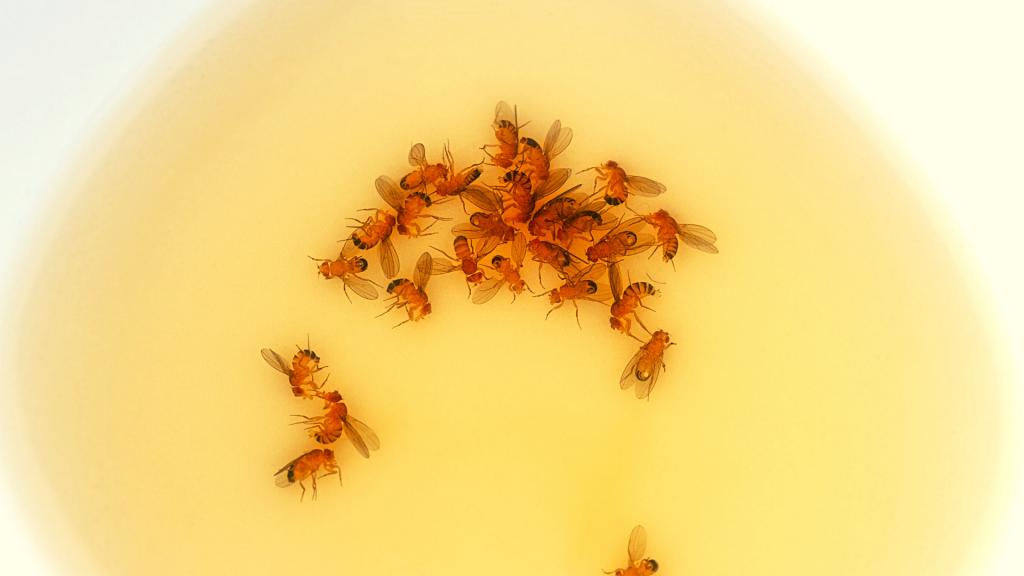 Fruit Flies Caught in Vinegar