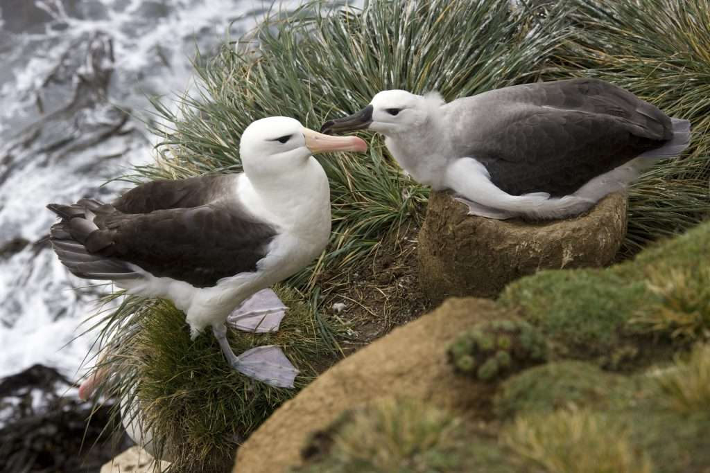 Two short tailed albatrosses sitting next to water.