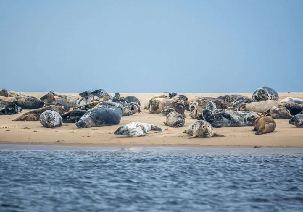 Colony of harbor seals sleeping in the sand.