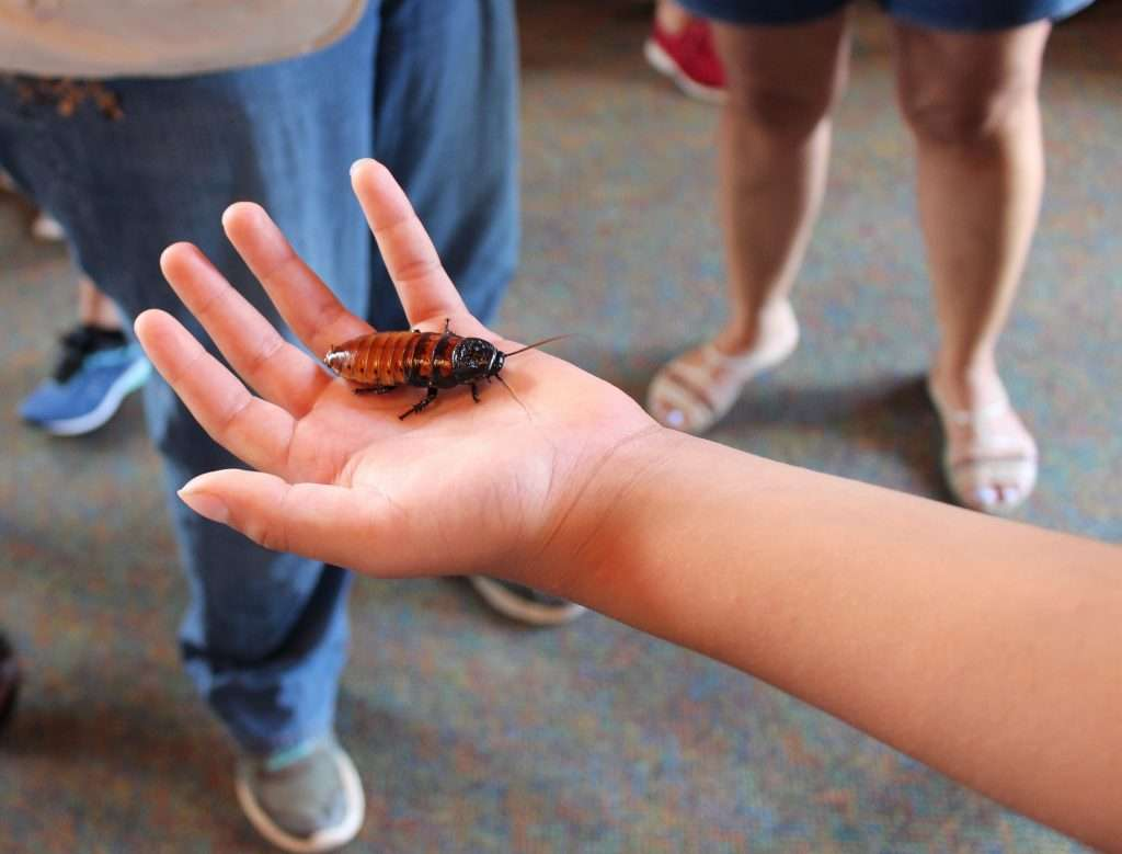 Little kid hand holding a cockroach.