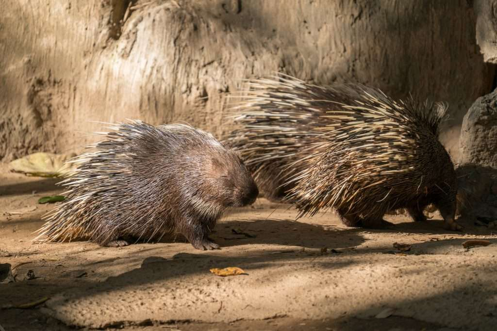 Two porcupines walking.