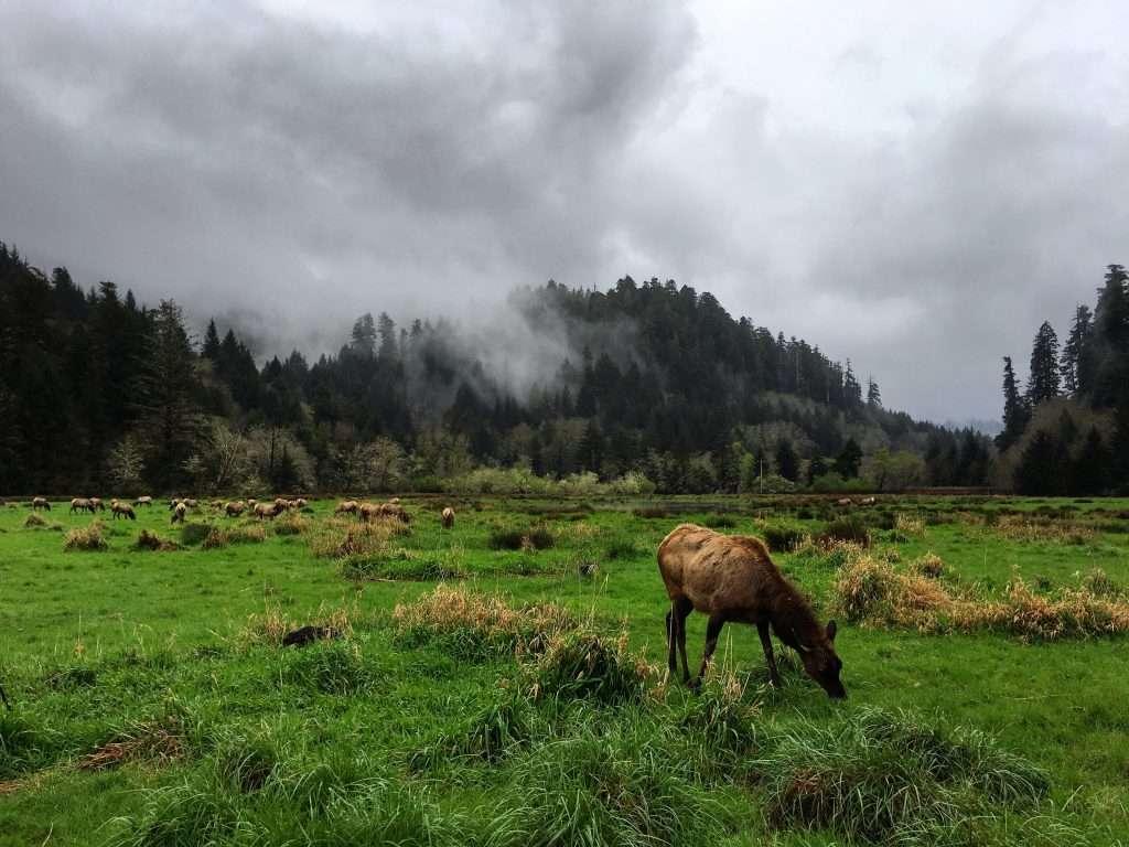 Roosevelt Elk grazing in Olympic National Park.