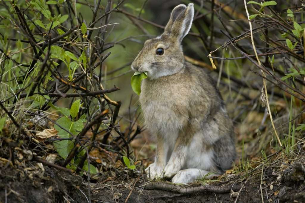 Snowshoe hare sitting in forest.