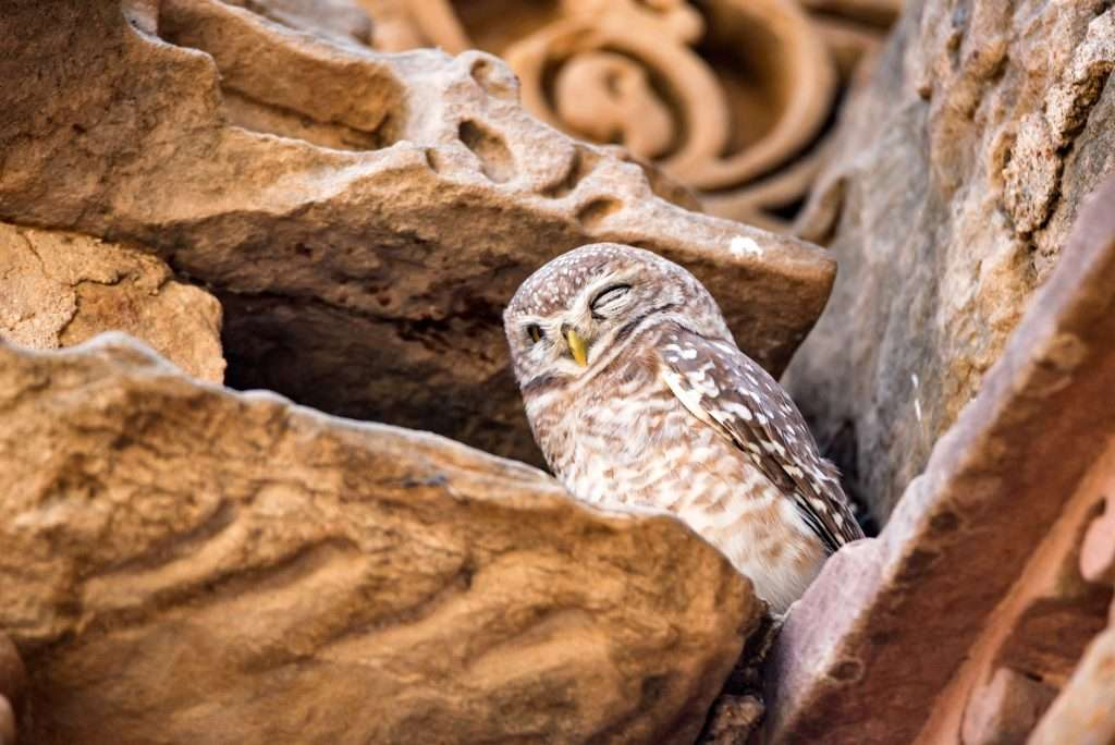 Spotted owl sitting on rocks.