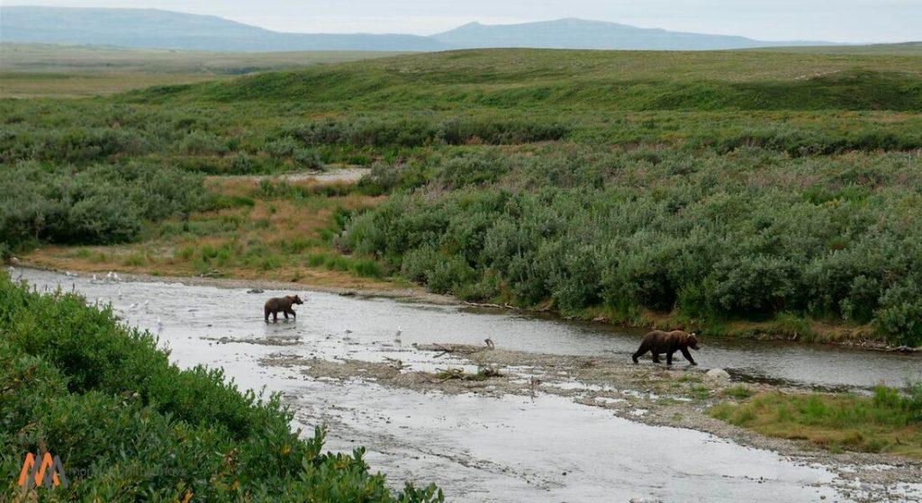 alaska brown bears in katmai national park