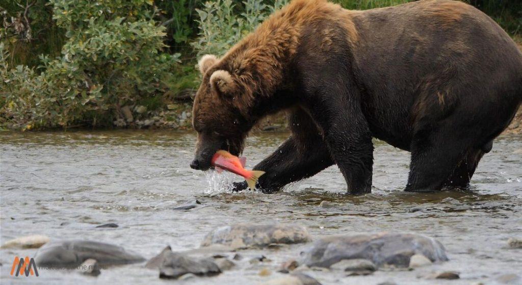 alaska peninsula brown bear catching salmon in river