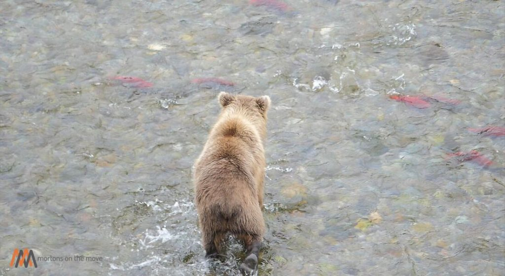 Alaska Peninsula Brown Bear fishing for salmon in Katmai National Park