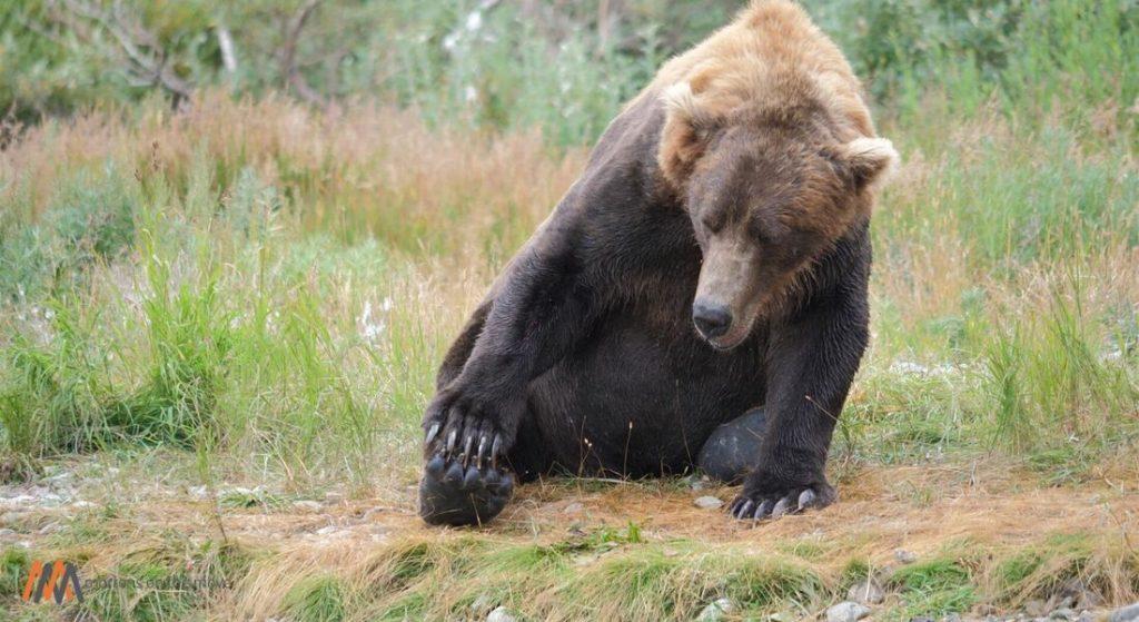 alaska peninsula brown bear scratching foot