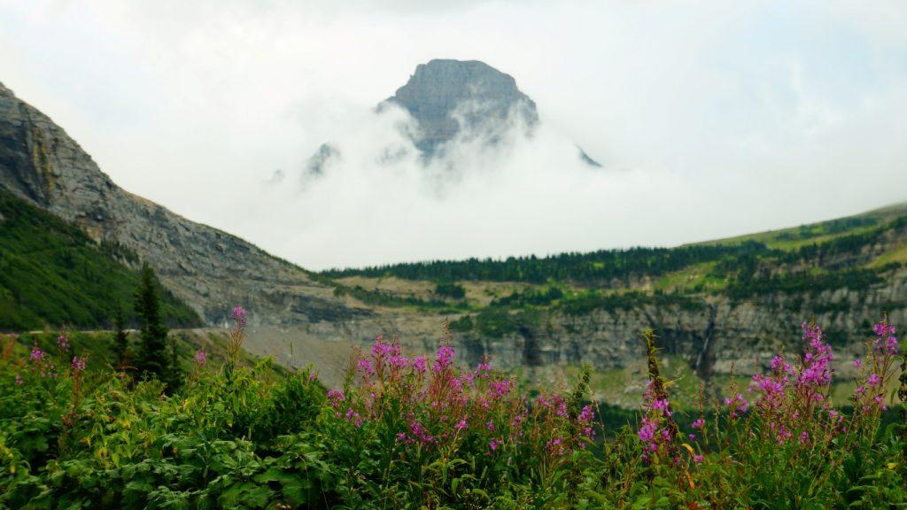 glacier national park fireweed