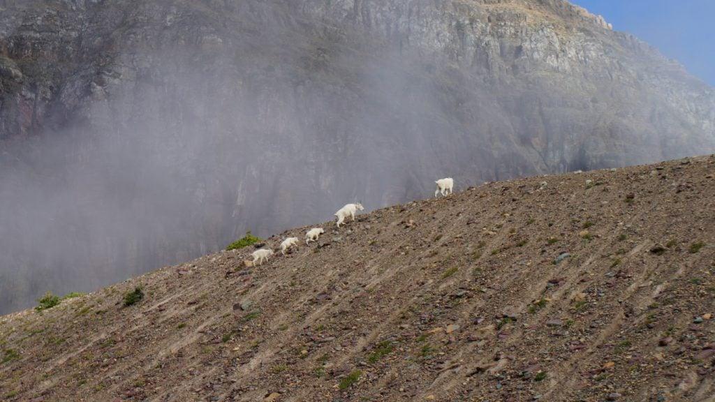 mountain goats glacier national park