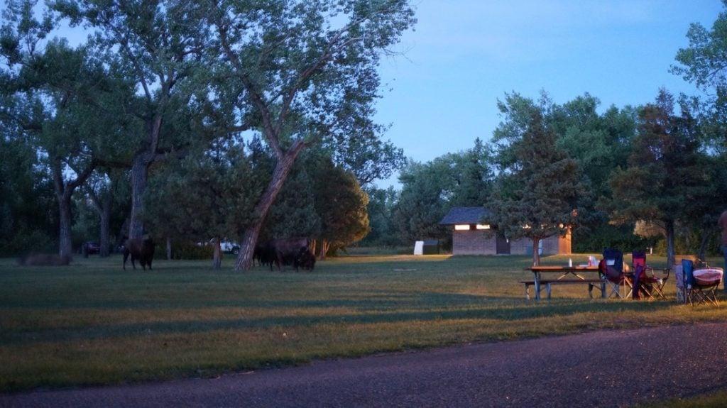 bison in juniper campground ND