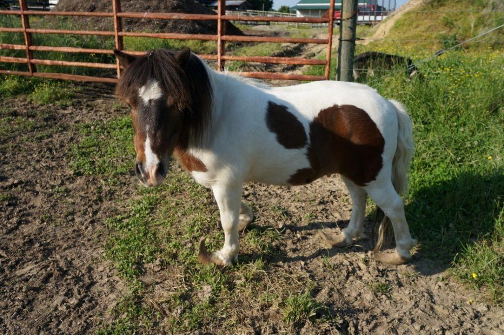 mini horse long hooves