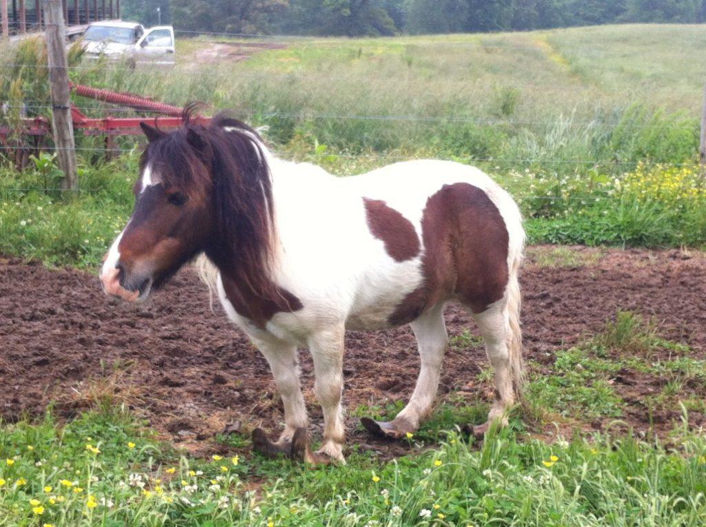 overgrown horse hooves